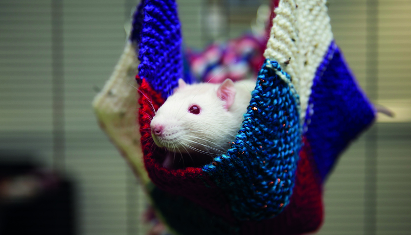 rodents escape the rat race this hallowe u0027en with knitted hammocks rats hammocks archives   ethical marketing news   ethical      rh   ethicalmarketingnews